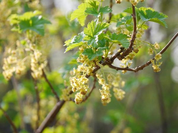 Смородина лучше цветет и плодоносит при хорошем освещении