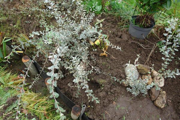 Salix saxatilis