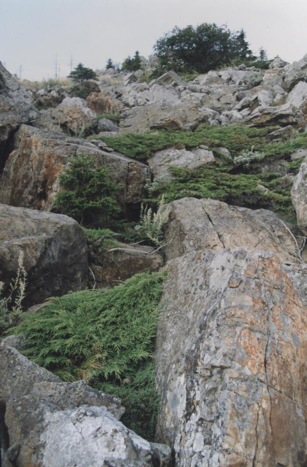 Микробиота образует заросли на каменистых россыпях