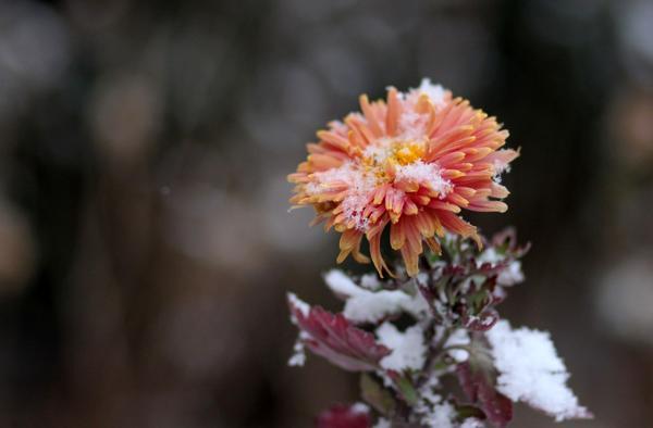 Не все хризантемы хорошо зимуют