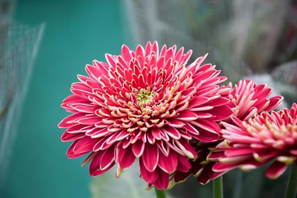 Хризантемы можно размножить семенами, делением куста или черенкованием