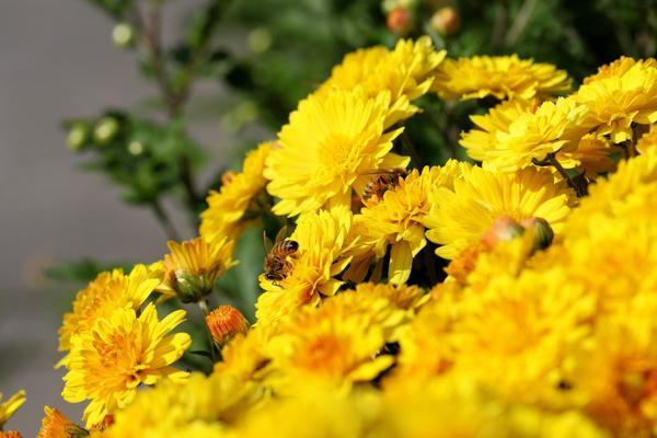 Хризантемам нужен солнечный, хорошо прогреваемый участок