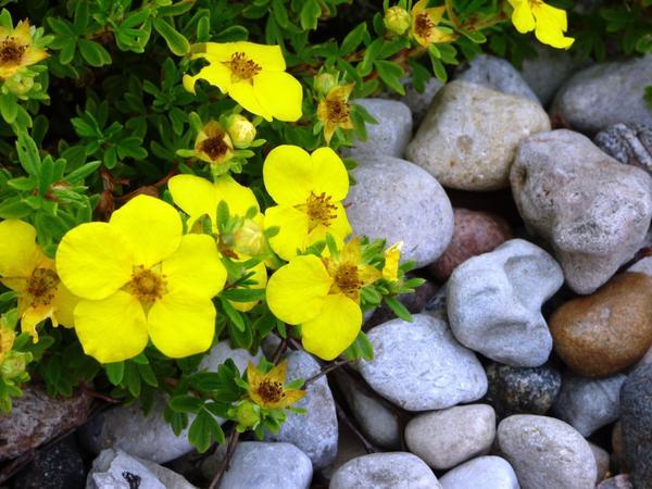 Лапчатка органично вписывается как в рокарий, так и в прилегающий цветник