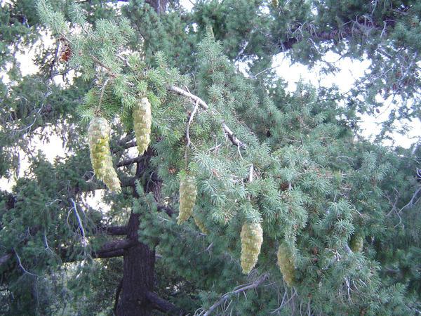 Псевдотсуга крупноплодная (Pseudotsuga macrocarpa), фото с сайта wikimedia.org
