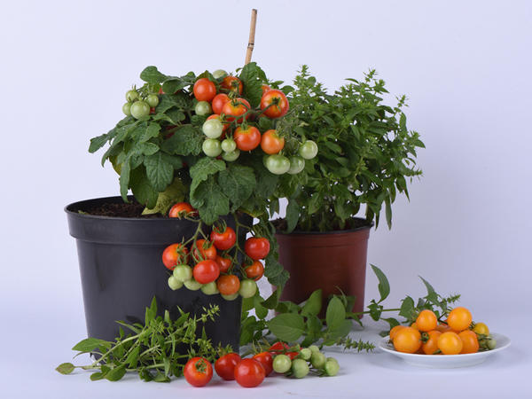 Овощи можно выращивать и на балконе, и в качестве домашнего растения. Серия 4 лета от ПОИСК