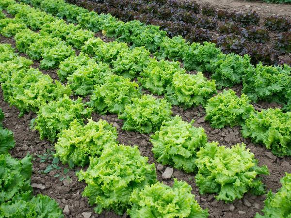 Сколько овощей нужно вашей семье? Салат Русич