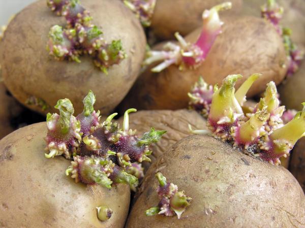 Картофельные глазки - на самом деле узлы стебля, из которых прорастают новые побеги