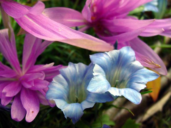 Безвременник Ватерлили (Waterlily) и горечавка китайско-украшенная (Gentiana sino-ornata) цветут одновременно