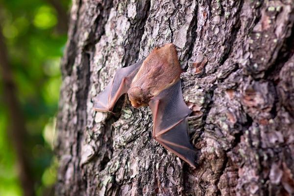 Крыло летучей мыши - экзотический способ борьбы с муравьями