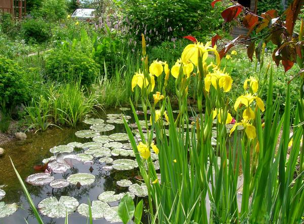 Ирис болотный подойдет не для каждого садового прудика