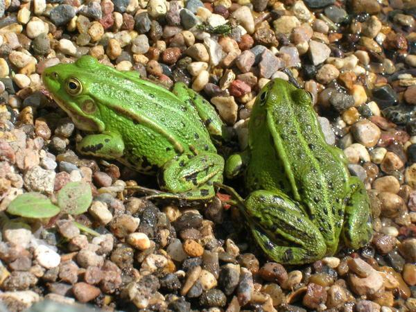 Прудовые лягушки - патриоты своего водоема