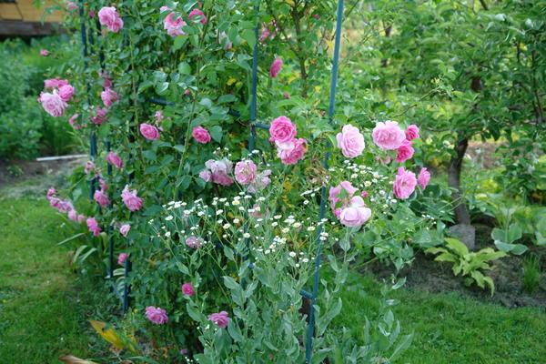 Даже розу на проблемном участке можно вырастить, если отыскать подходящее место