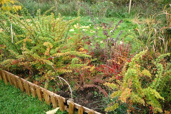 Там, где посуше, неплохо растут барбарисы