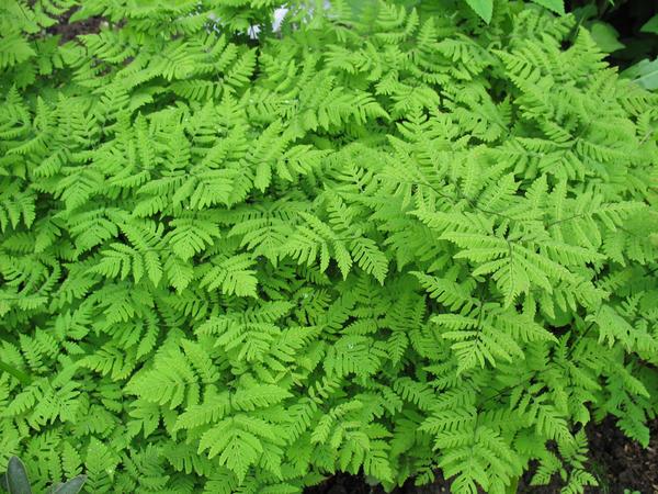 Голоку́чник обыкнове́нный, или голокучник Линне́я, или голокучник трёхразде́льный (Gymnocarpium dryopteris)