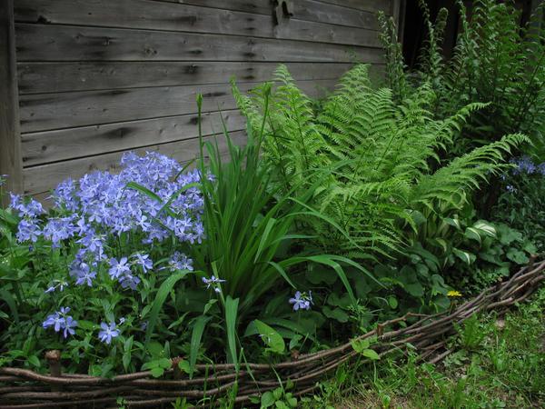 Папоротники - растения удивительной выносливости и неповторимой красоты