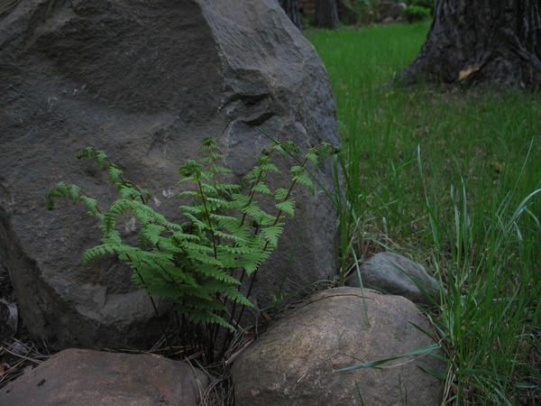 Пузырник луковичный, или клубненосный (Cystopteris bulbifera)