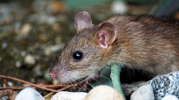 Лапник защищает не только от мороза, но и от мышей