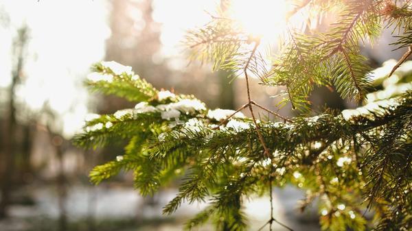 Чтобы раздобыть лапник, вовсе не нужно рубить елки