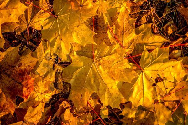 Собранные в сухую погоду опавшие листья - хороший укрывной материал
