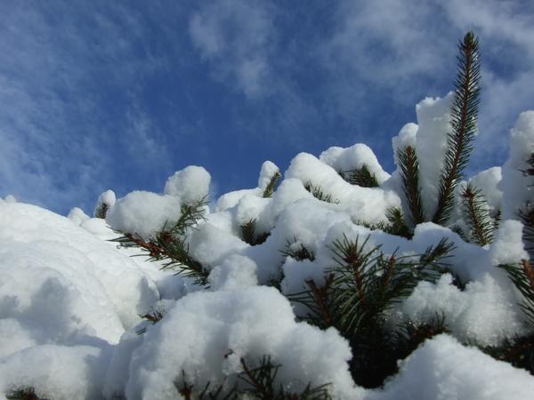 Снег и еловый лапник - лучшие материалы для защиты растений