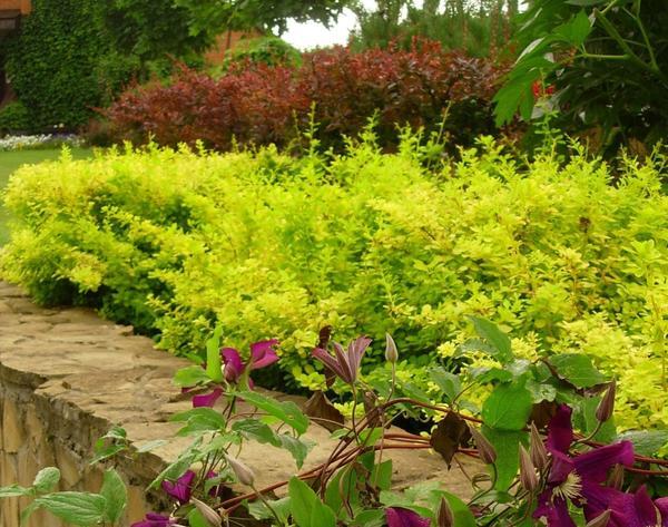 Из барбариса можно сформировать живую изгородь любой формы, разных цветов