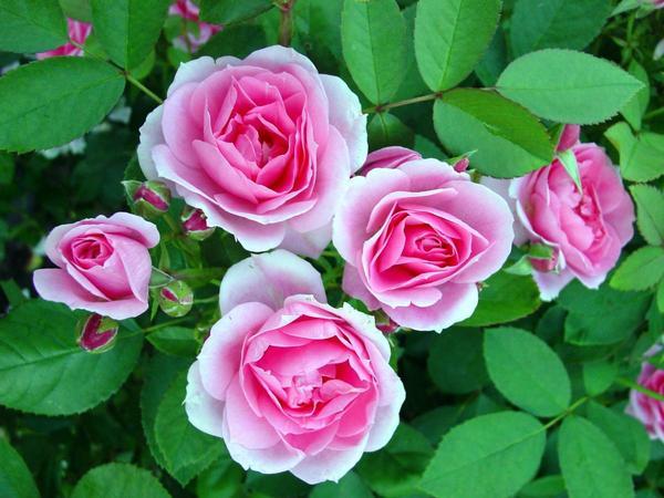 Роза 'Modern Centennial'