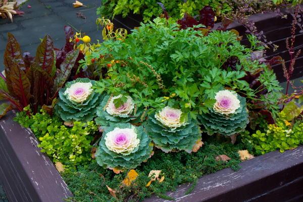 Опытные огородники даже цветник могут сделать из овощей