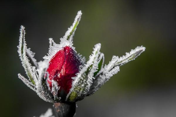 Чтобы роза не замерзла, подарите ей зимний домик