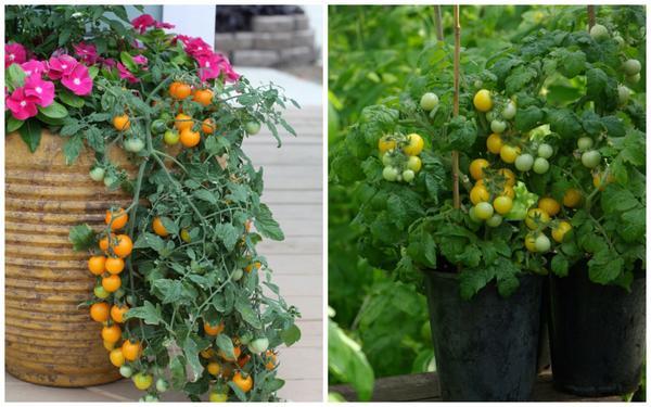 Серия семян 4 лета: томаты Золотая гроздь и Желтая шапочка