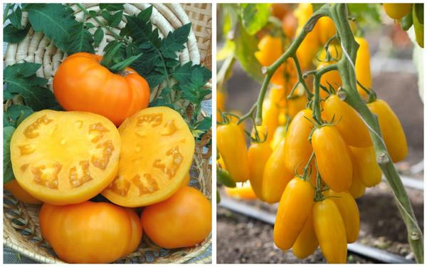 Серия семян Вкуснотека: томаты Бизон желтый и Банан желтый
