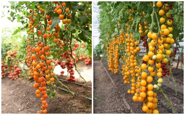 Серия семян Восточный деликатес: томаты Волшебная арфа F1 и Золотой поток F1