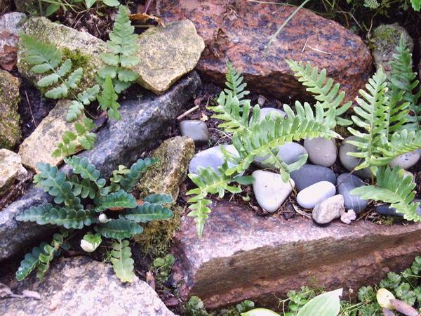 Ландшафтная композиция со скальными папоротниками - птеридарий