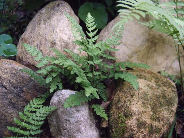 Папоротники чрезвычайно разнообразны. Вудсия эльбская (Woodsia ilvensis)