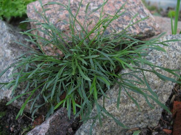 Асплениум северный (Asplenium septentrionale)
