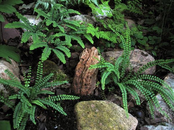 Скальные папоротники в ландшафте. адиантум красивый (Adiantum venustum) и асплениум волосовидный (Asplenium trichomanes)