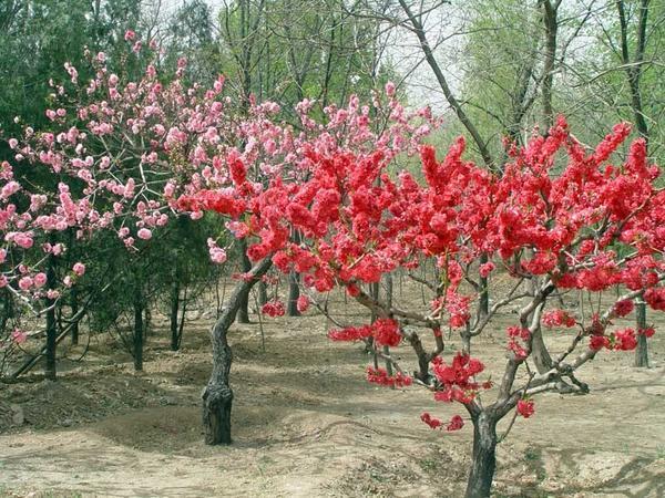 В китайском саду непременно есть и декоративные, и плодовые деревья