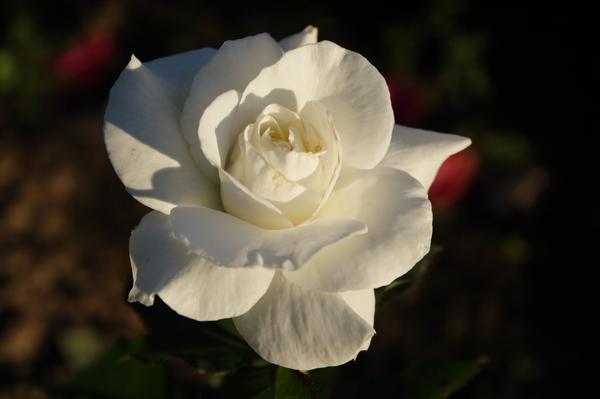 Подобрать надежные сорта белых роз не так-то просто. Роза 'Cosmos' (Meilland, 1994)