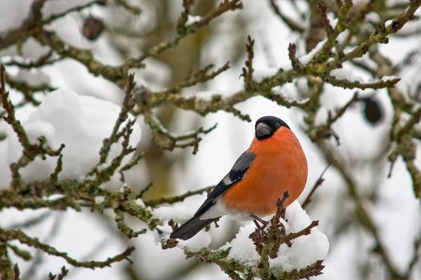 Снегири - довольно распространенные птицы