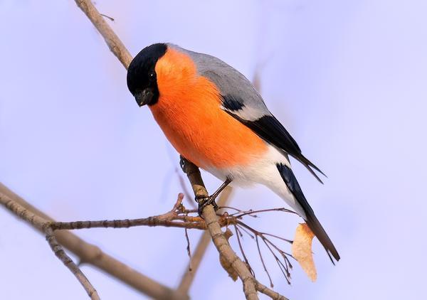 Снегири - растительноядные птицы