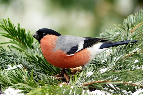 Снегирь - одна из самых любимых в России птиц