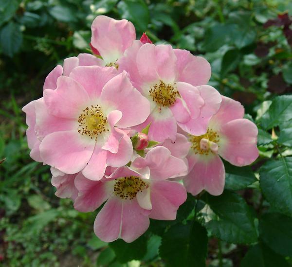 'Pink Bassino'