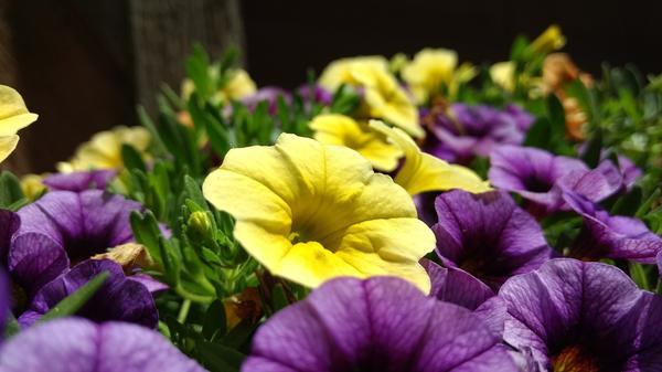 Петуния - популярный цветок