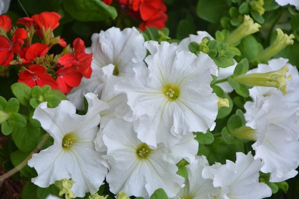 Петуния грандифлора (Petunia Grandiflora) - группа петуний с крупными цветками