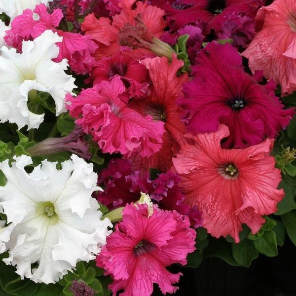 Фриллитуния — крупноцветковая петуния с сильно гофрированными лепестками. Фото с сайта florantino.ru
