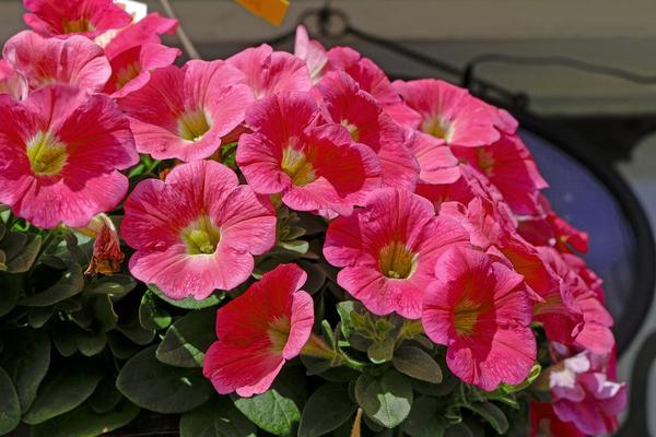 Петунии мультифлора отличаются обильным цветением