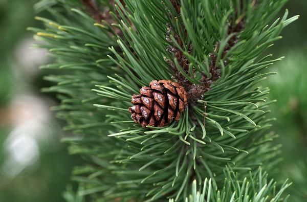 Сосна - тоже новогоднее дерево