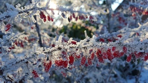 Яркие плоды контрастируют с белым искрящимся снегом