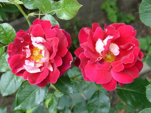 Красно белая роза фото