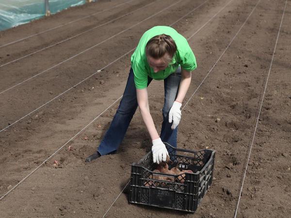 Высадка лучших корнеплодов в подготовленный грунт, чтобы выросло семенное растение