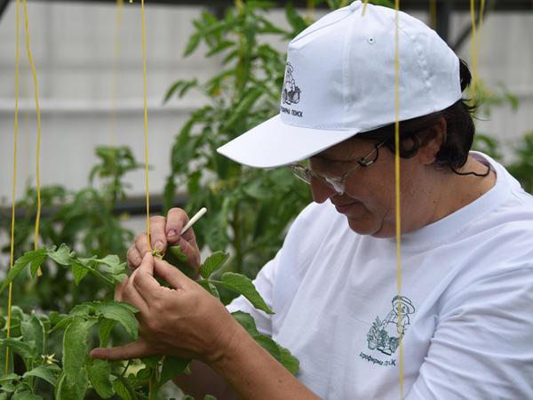 Кастрация цветков томата (выщипывают пыльники)